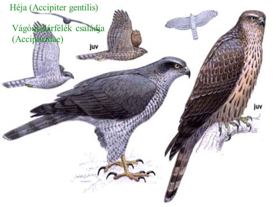 Héja (Accipiter gentilis) Vágómadárfélék családja (Accipitridae)