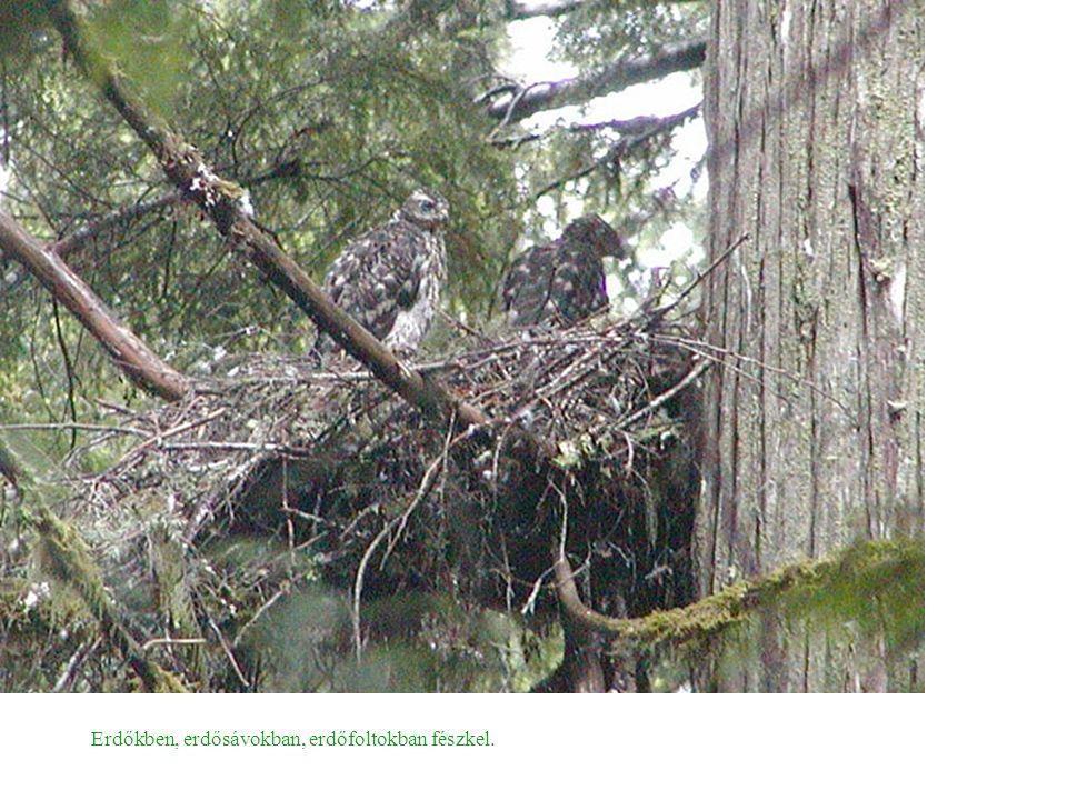 Erdőkben, erdősávokban, erdőfoltokban fészkel.