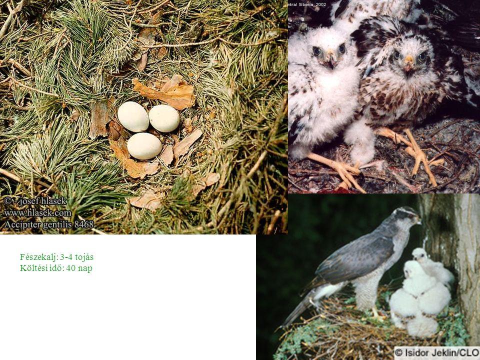 Fészekalj: 3-4 tojás Költési idő: 40 nap