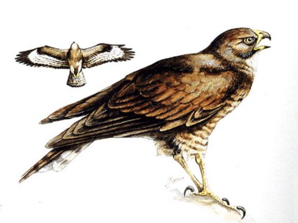 Hossza: 46-58 cm Szárnyfesztáv: 110-132 cm Középméretű, széles szárnyú, zömök ragadozó.