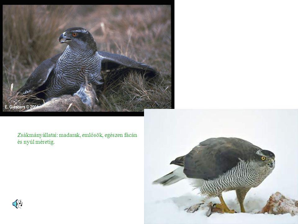 Zsákmányállatai: madarak, emlősök, egészen fácán és nyúl méretig.