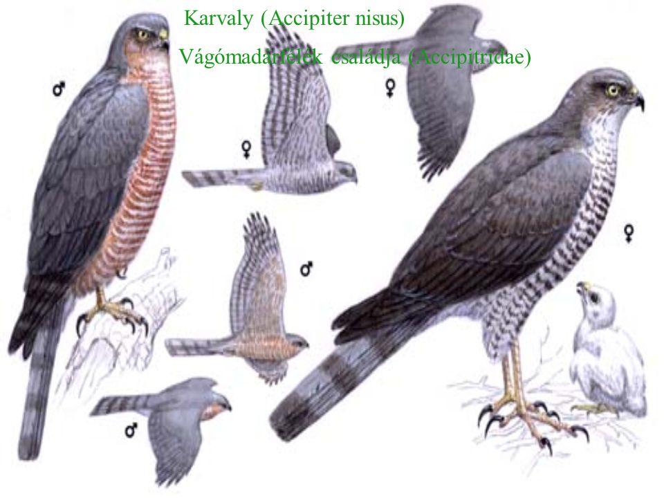 Karvaly (Accipiter nisus) Vágómadárfélék családja (Accipitridae)