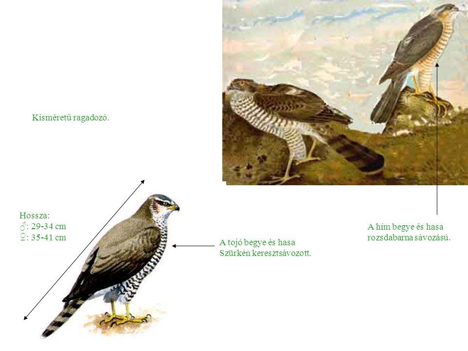 Hossza: ♂: 29-34 cm ♀: 35-41 cm Kisméretű ragadozó.
