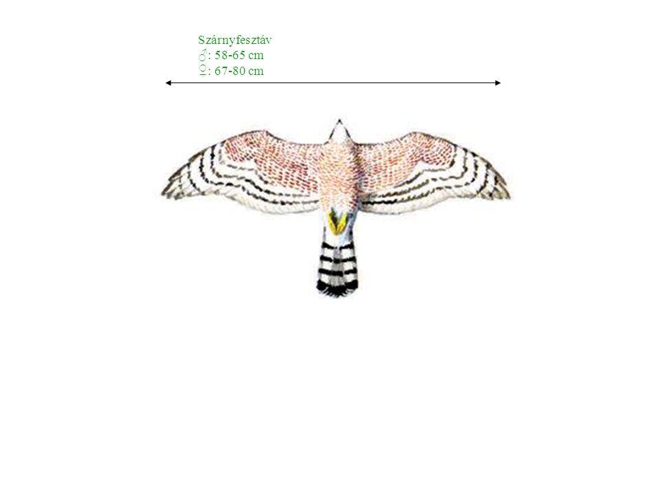 Szárnyfesztáv ♂: 58-65 cm ♀: 67-80 cm