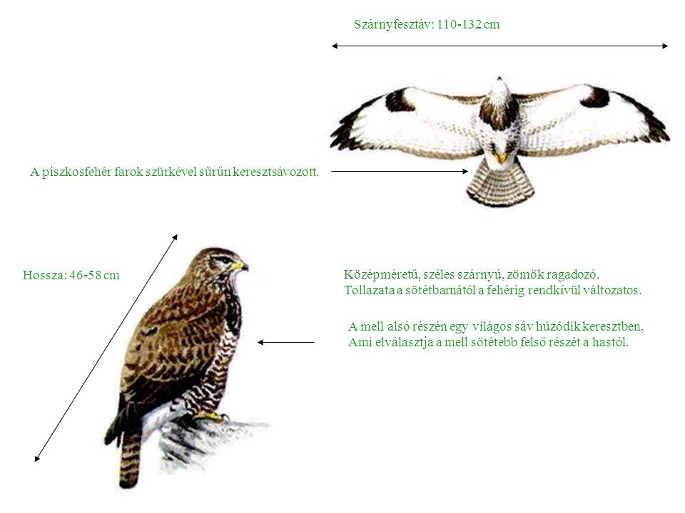 Pusztai ölyv (Buteo rufinus) Nagyon nehezen különböztethető meg az egerészölyvtől.
