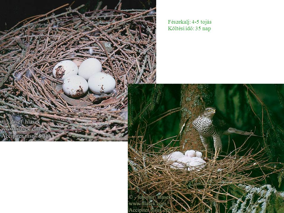 Fészekalj: 4-5 tojás Költési idő: 35 nap