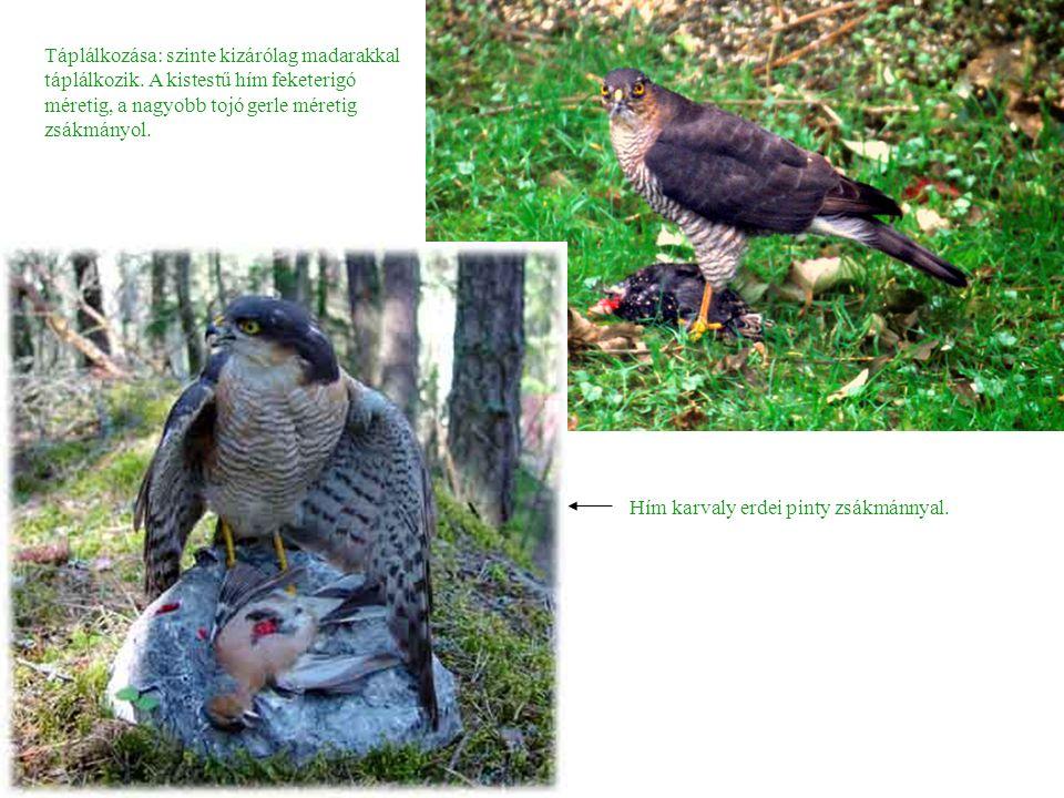 Táplálkozása: szinte kizárólag madarakkal táplálkozik.