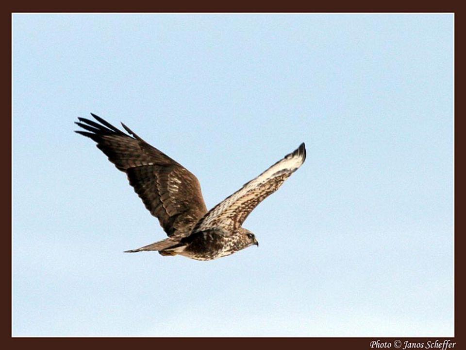 A karvaly tojó összetéveszthető a hím héjával, de a karvaly szaporább szárnycsapásokkal repül.