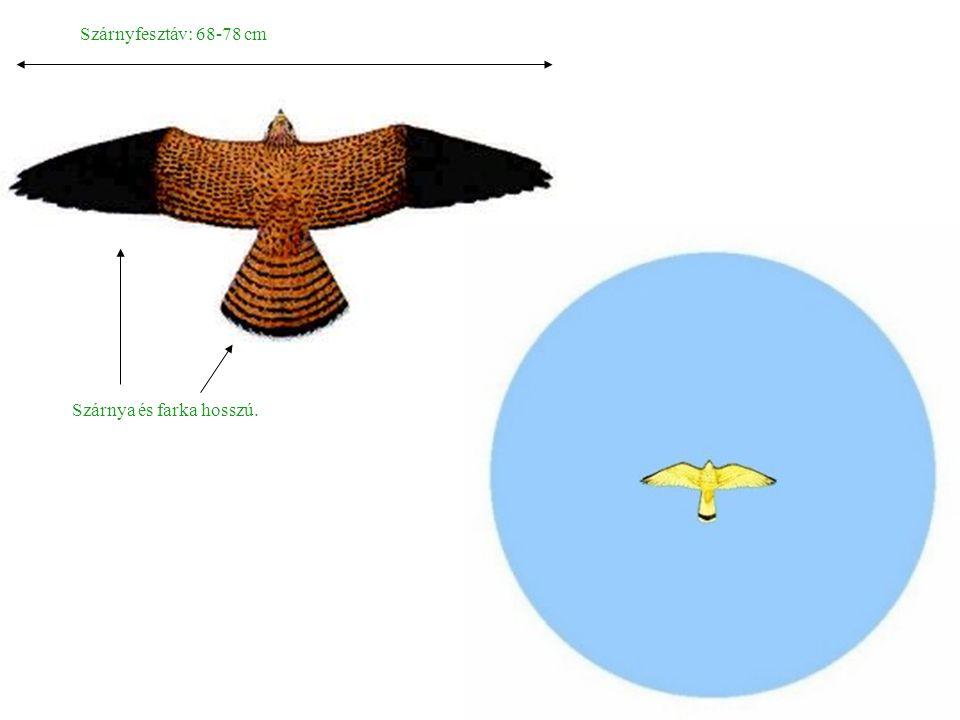 Szárnyfesztáv: 68-78 cm Szárnya és farka hosszú.