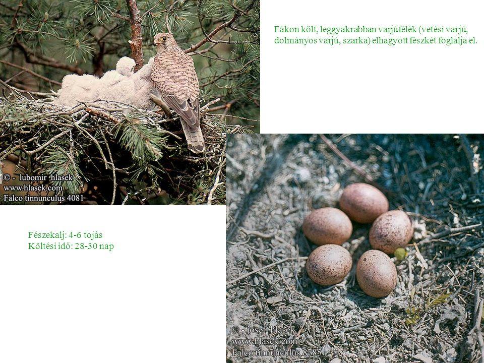 Fákon költ, leggyakrabban varjúfélék (vetési varjú, dolmányos varjú, szarka) elhagyott fészkét foglalja el.