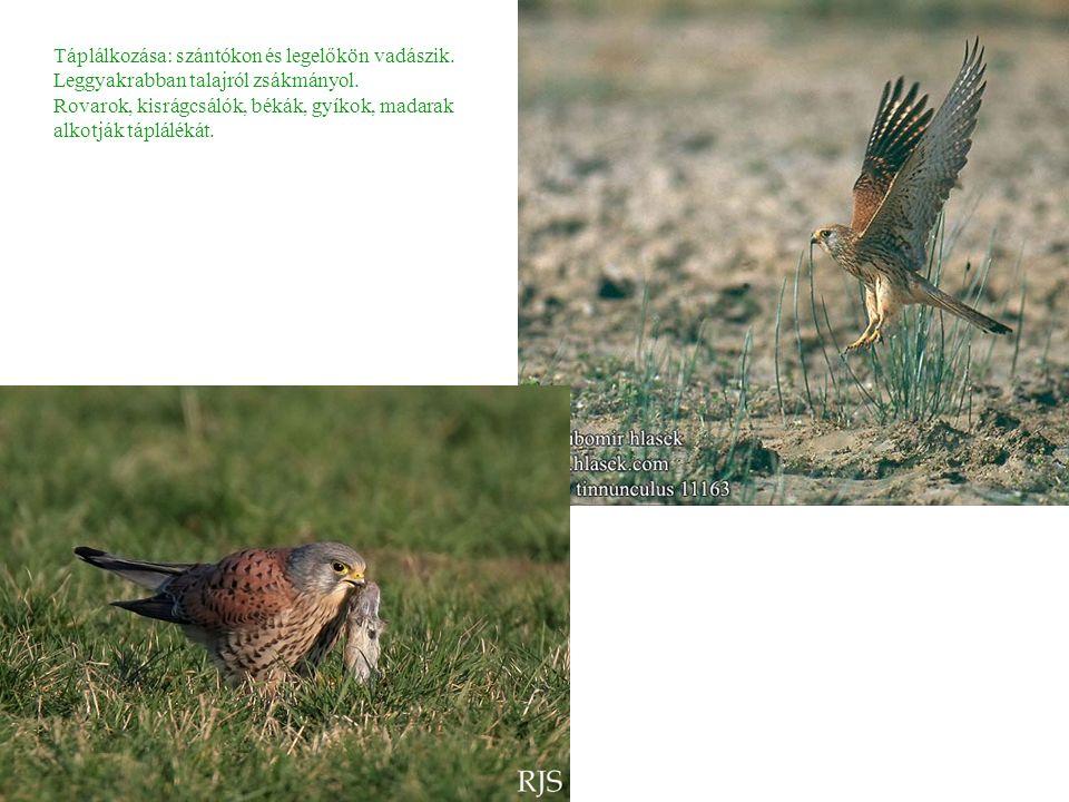 Táplálkozása: szántókon és legelőkön vadászik. Leggyakrabban talajról zsákmányol.