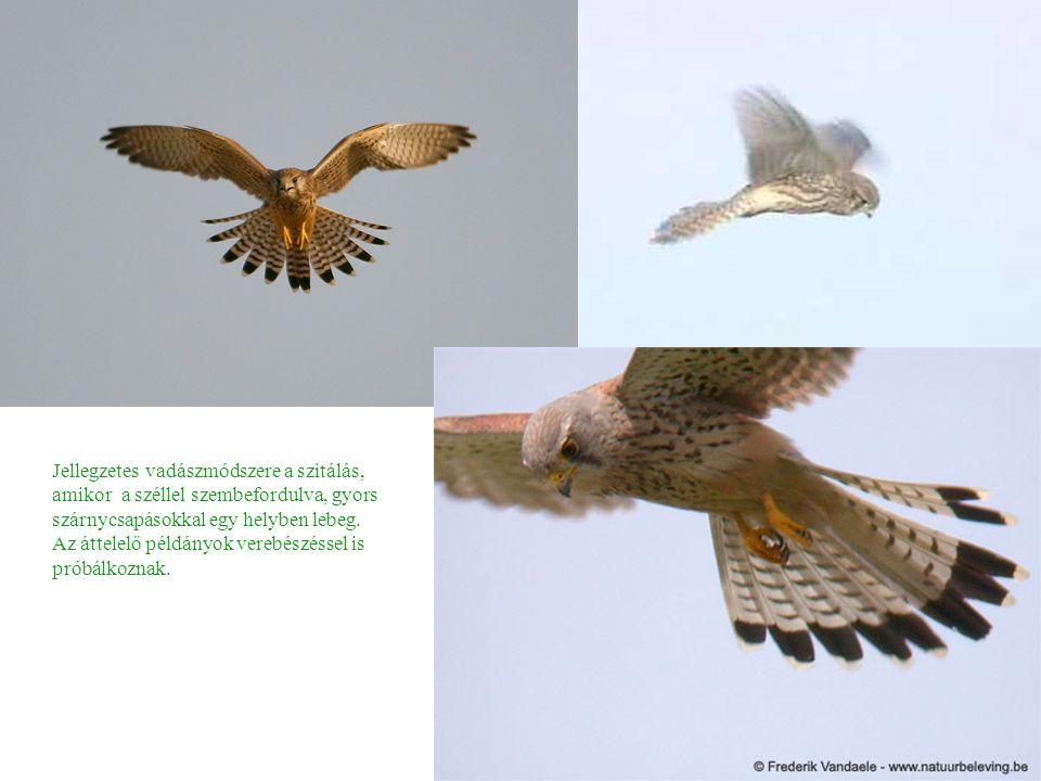 Jellegzetes vadászmódszere a szitálás, amikor a széllel szembefordulva, gyors szárnycsapásokkal egy helyben lebeg.