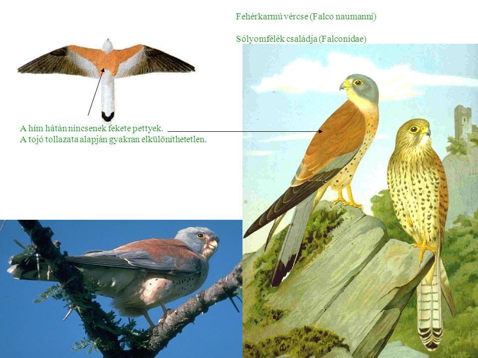 Fehérkarmú vércse (Falco naumanni) Sólyomfélék családja (Falconidae) A hím hátán nincsenek fekete pettyek.