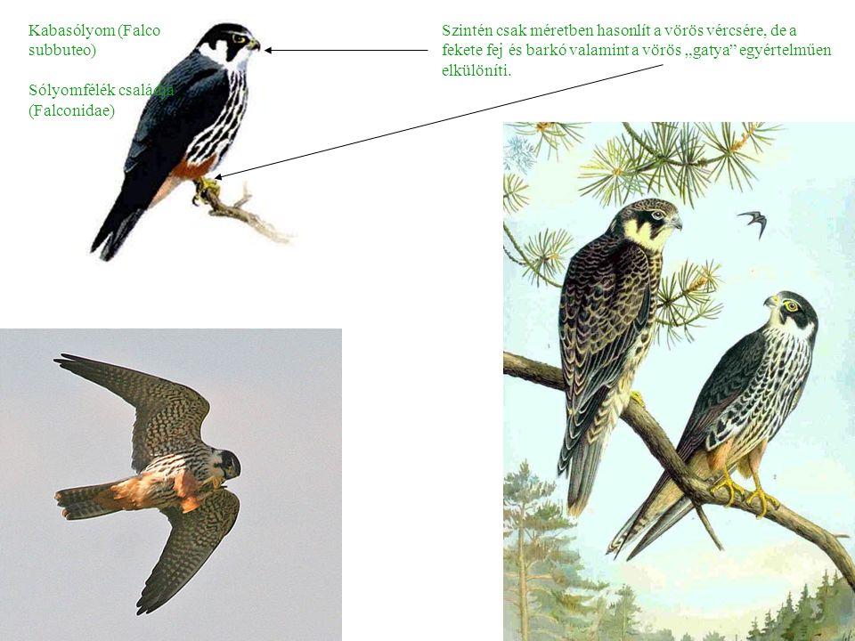 """Kabasólyom (Falco subbuteo) Sólyomfélék családja (Falconidae) Szintén csak méretben hasonlít a vörös vércsére, de a fekete fej és barkó valamint a vörös """"gatya egyértelműen elkülöníti."""