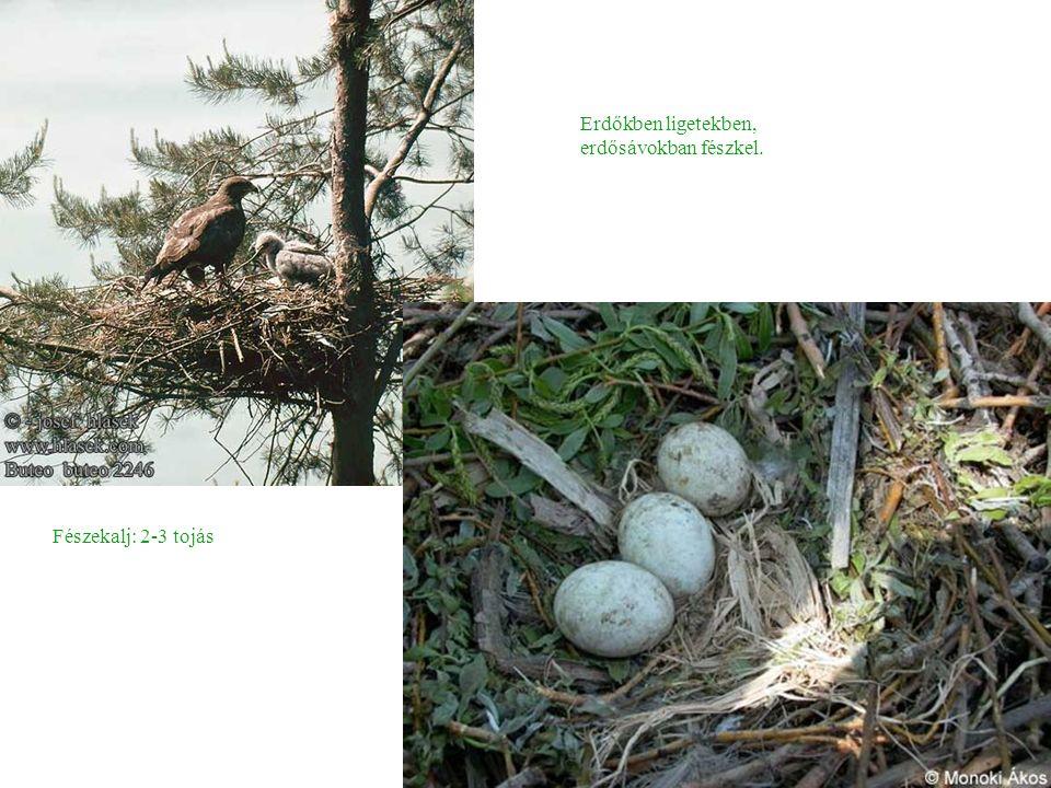 Erdőkben ligetekben, erdősávokban fészkel. Fészekalj: 2-3 tojás