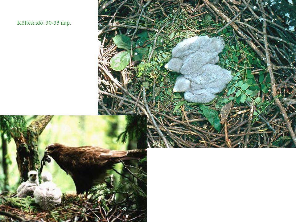 Héja (Accipiter gentilis) -lásd az előbbiekben