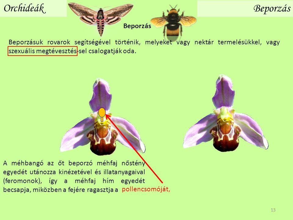 Orchideák Beporzás Beporzásuk rovarok segítségével történik, melyeket vagy nektár termelésükkel, vagy szexuális megtévesztés-sel csalogatják oda. Bepo
