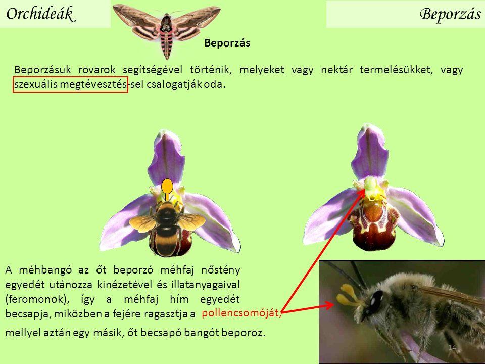 Orchideák Beporzás A méhbangó az őt beporzó méhfaj nőstény egyedét utánozza kinézetével és illatanyagaival (feromonok), így a méhfaj hím egyedét becsapja, miközben a fejére ragasztja a pollencsomóját, Beporzásuk rovarok segítségével történik, melyeket vagy nektár termelésükket, vagy szexuális megtévesztés-sel csalogatják oda.