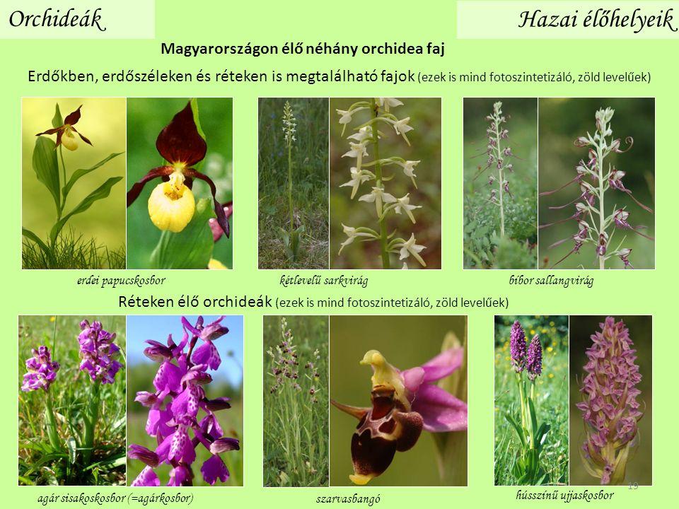 Orchideák Réteken élő orchideák (ezek is mind fotoszintetizáló, zöld levelűek) agár sisakoskosbor (=agárkosbor) hússzínű ujjaskosbor szarvasbangó kétl