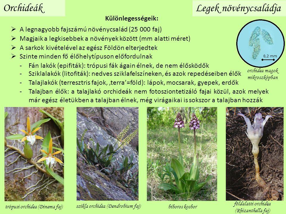  A legnagyobb fajszámú növénycsalád (25 000 faj) Orchideák Legek növénycsaládja -Fán lakók (epifiták): trópusi fák ágain élnek, de nem élősködők -Talajban élők: a talajlakó orchideák nem fotosziontetizáló fajai közül, azok melyek már egész életükben a talajban élnek, még virágaikai is sokszor a talajban hozzák -Talajlakók (terresztris fajok, 'terra'=föld): lápok, mocsarak, gyepek, erdők -Sziklalakók (litofiták): nedves sziklafelszíneken, és azok repedéseiben élők trópusi orchidea (Dinema faj)bíboros kosbor szikla orchidea (Dendrobium faj) földalatti orchidea (Rhizanthella faj) orchidea magok mikroszkópban 0,2 mm Különlegességeik:  Szinte minden fő élőhelytípuson előfordulnak  A sarkok kivételével az egész Földön elterjedtek  Magjaik a legkisebbek a növények között (mm alatti méret) 3