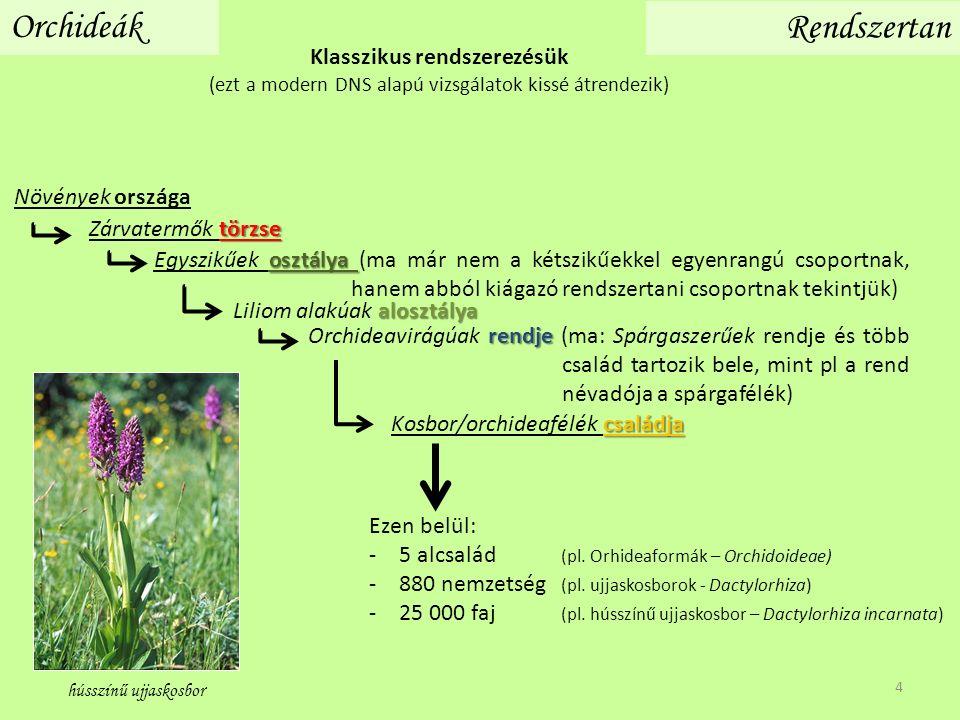 Klasszikus rendszerezésük (ezt a modern DNS alapú vizsgálatok kissé átrendezik) Orchideák Rendszertan Ezen belül: -5 alcsalád (pl. Orhideaformák – Orc