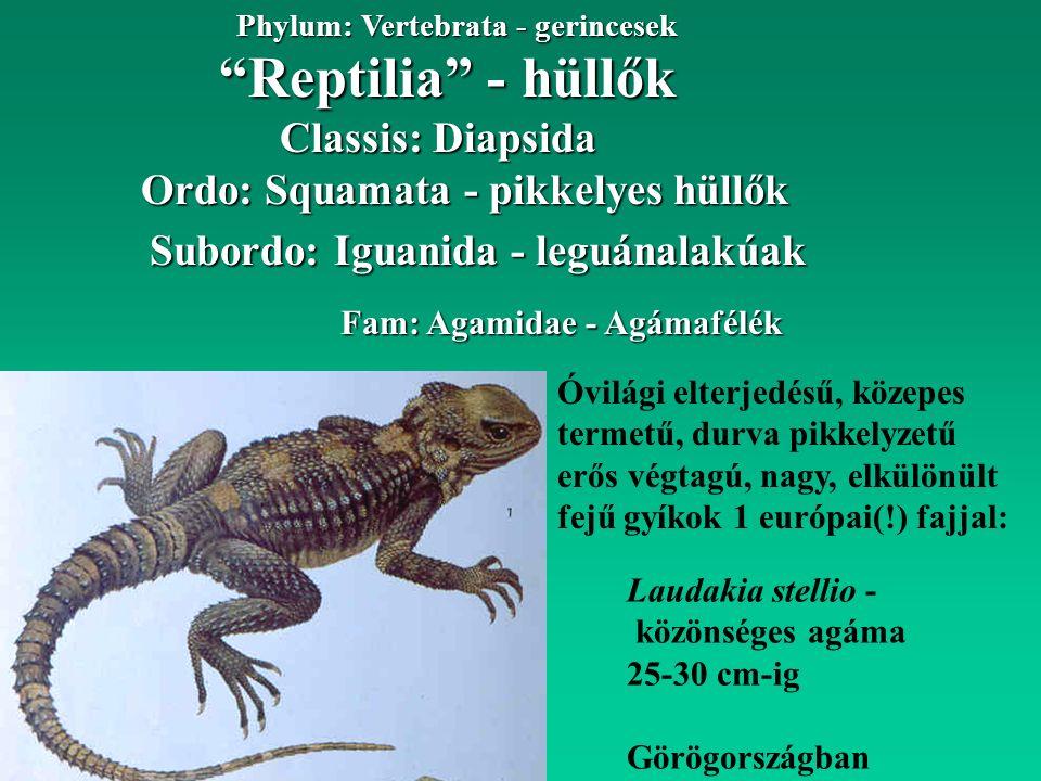 Reptilia - hüllők Phylum: Vertebrata - gerincesek Classis: Diapsida Ordo: Squamata - pikkelyes hüllők Subordo: Iguanida - leguánalakúak Fam: Agamidae - Agámafélék Óvilági elterjedésű, közepes termetű, durva pikkelyzetű erős végtagú, nagy, elkülönült fejű gyíkok 1 európai(!) fajjal: Laudakia stellio - közönséges agáma 25-30 cm-ig Görögországban
