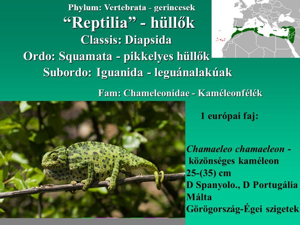 Reptilia - hüllők Phylum: Vertebrata - gerincesek Classis: Diapsida Ordo: Squamata - pikkelyes hüllők Subordo: Iguanida - leguánalakúak Fam: Chameleonidae - Kaméleonfélék 1 európai faj: Chamaeleo chamaeleon - közönséges kaméleon 25-(35) cm D Spanyolo., D Portugália Málta Görögország-Égei szigetek