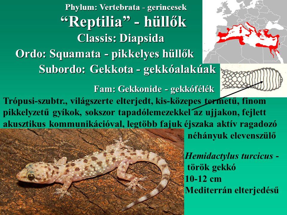 Reptilia - hüllők Phylum: Vertebrata - gerincesek Classis: Diapsida Ordo: Squamata - pikkelyes hüllők Subordo: Gekkota - gekkóalakúak Fam: Gekkonide - gekkófélék Trópusi-szubtr., világszerte elterjedt, kis-közepes termetű, finom pikkelyzetű gyíkok, sokszor tapadólemezekkel az ujjakon, fejlett akusztikus kommunikációval, legtöbb fajuk éjszaka aktív ragadozó Hemidactylus turcicus - török gekkó 10-12 cm Mediterrán elterjedésű néhányuk elevenszülő