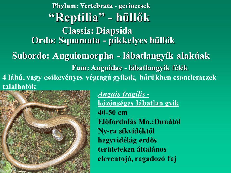 """""""Reptilia"""" - hüllők Phylum: Vertebrata - gerincesek Fam: Anguidae - lábatlangyík félék 4 lábú, vagy csökevényes végtagú gyíkok, bőrükben csontlemezek"""