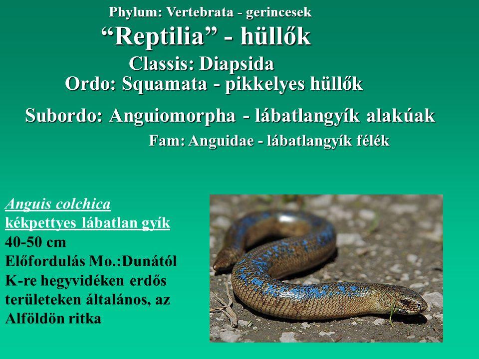 """""""Reptilia"""" - hüllők Phylum: Vertebrata - gerincesek Fam: Anguidae - lábatlangyík félék Subordo: Anguiomorpha - lábatlangyík alakúak Classis: Diapsida"""