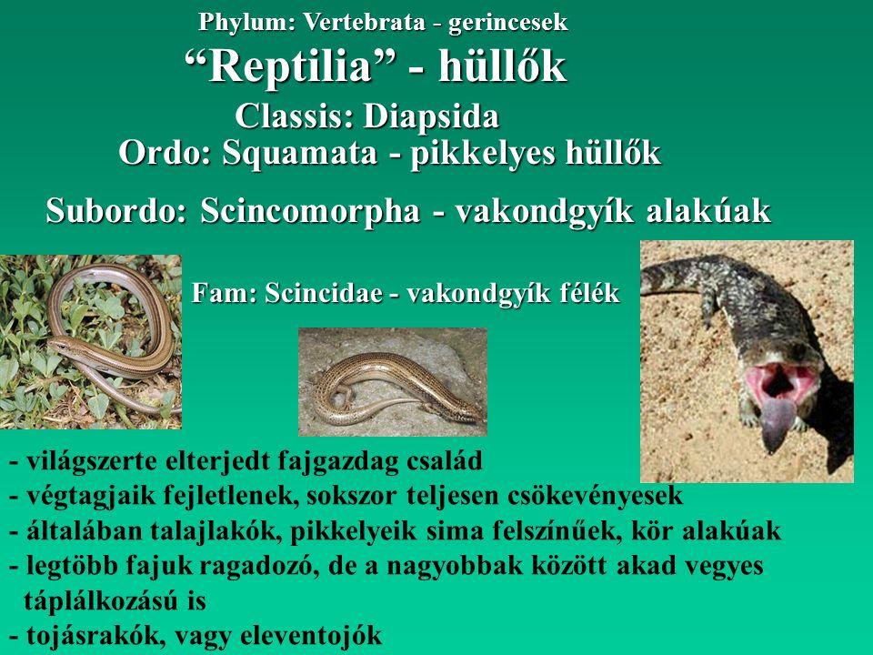 Reptilia - hüllők Phylum: Vertebrata - gerincesek Fam: Scincidae - vakondgyík félék Subordo: Scincomorpha - vakondgyík alakúak Classis: Diapsida Ordo: Squamata - pikkelyes hüllők - világszerte elterjedt fajgazdag család - végtagjaik fejletlenek, sokszor teljesen csökevényesek - általában talajlakók, pikkelyeik sima felszínűek, kör alakúak - legtöbb fajuk ragadozó, de a nagyobbak között akad vegyes táplálkozású is - tojásrakók, vagy eleventojók