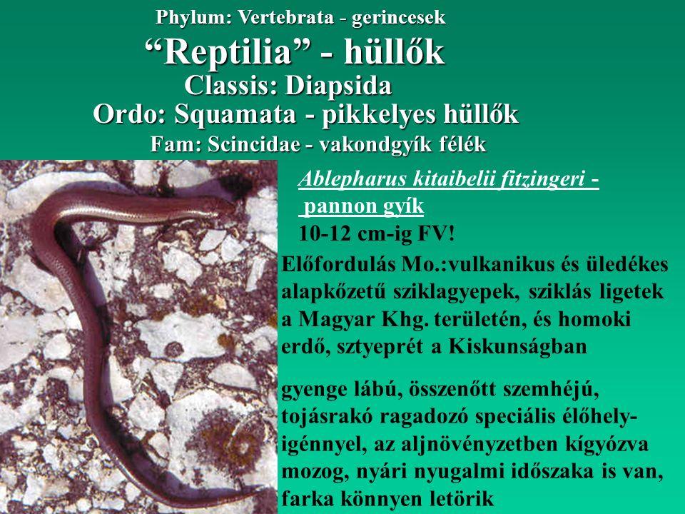 """""""Reptilia"""" - hüllők Phylum: Vertebrata - gerincesek Fam: Scincidae - vakondgyík félék Ordo: Squamata - pikkelyes hüllők Classis: Diapsida Ablepharus k"""