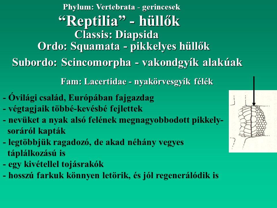 """""""Reptilia"""" - hüllők Phylum: Vertebrata - gerincesek Fam: Lacertidae - nyakörvesgyík félék Ordo: Squamata - pikkelyes hüllők Classis: Diapsida - Óvilág"""