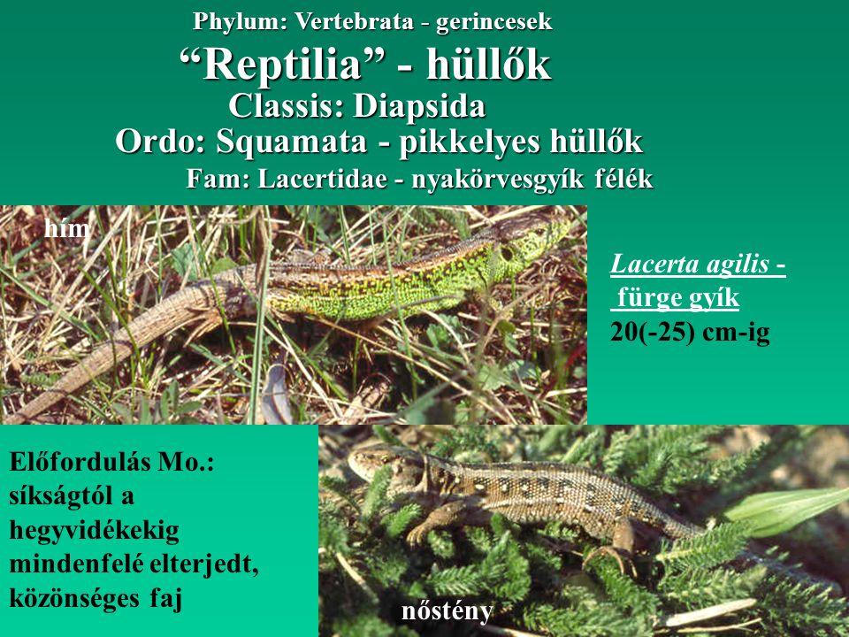 Reptilia - hüllők Phylum: Vertebrata - gerincesek Fam: Lacertidae - nyakörvesgyík félék Ordo: Squamata - pikkelyes hüllők Lacerta agilis - fürge gyík 20(-25) cm-ig Előfordulás Mo.: síkságtól a hegyvidékekig mindenfelé elterjedt, közönséges faj hím nőstény Classis: Diapsida