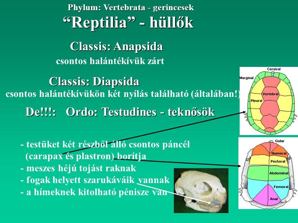 Reptilia - hüllők Phylum: Vertebrata - gerincesek Fam: Anguidae - lábatlangyík félék 4 lábú, vagy csökevényes végtagú gyíkok, bőrükben csontlemezek találhatók Subordo: Anguiomorpha - lábatlangyík alakúak Classis: Diapsida Ordo: Squamata - pikkelyes hüllők Anguis fragilis - közönséges lábatlan gyík 40-50 cm Előfordulás Mo.:Dunától Ny-ra síkvidéktől hegyvidékig erdős területeken általános eleventojó, ragadozó faj