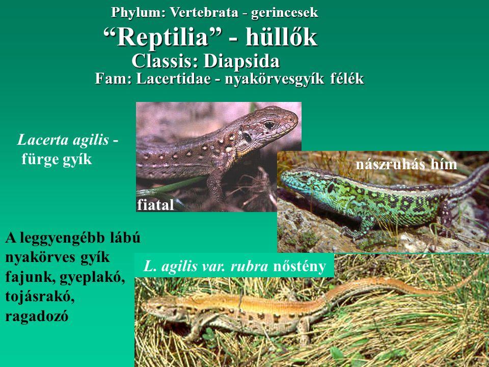 Reptilia - hüllők Phylum: Vertebrata - gerincesek A leggyengébb lábú nyakörves gyík fajunk, gyeplakó, tojásrakó, ragadozó Fam: Lacertidae - nyakörvesgyík félék Lacerta agilis - fürge gyík nászruhás hím Classis: Diapsida L.