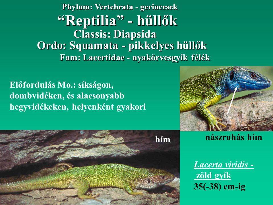 Reptilia - hüllők Phylum: Vertebrata - gerincesek Fam: Lacertidae - nyakörvesgyík félék Ordo: Squamata - pikkelyes hüllők Lacerta viridis - zöld gyík 35(-38) cm-ig Előfordulás Mo.: síkságon, dombvidéken, és alacsonyabb hegyvidékeken, helyenként gyakori hím Classis: Diapsida nászruhás hím