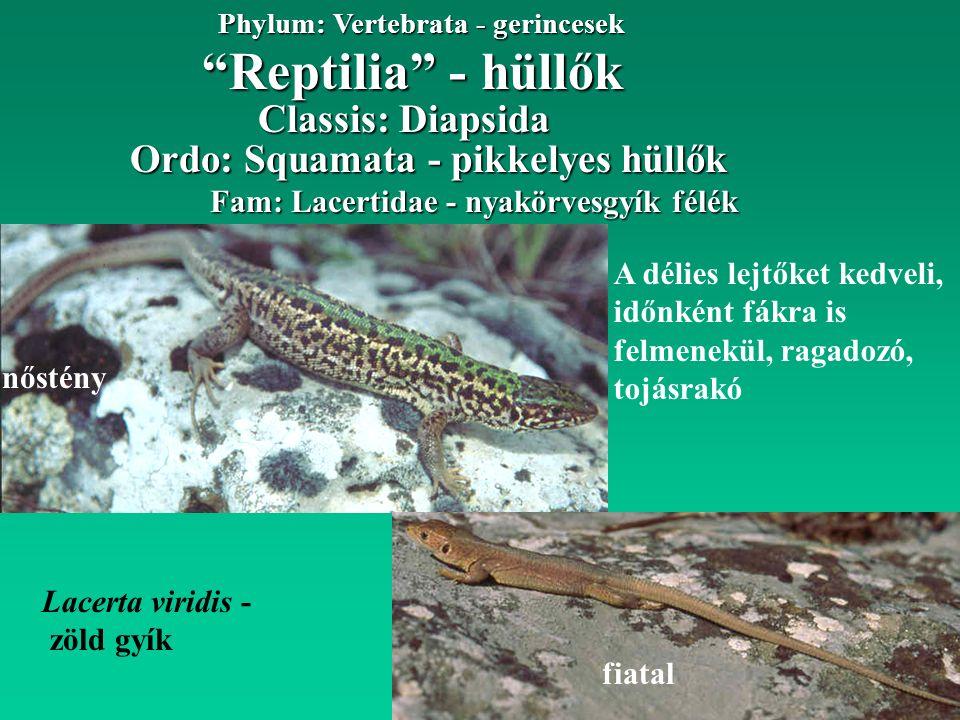 """""""Reptilia"""" - hüllők Phylum: Vertebrata - gerincesek nőstény Fam: Lacertidae - nyakörvesgyík félék Ordo: Squamata - pikkelyes hüllők Classis: Diapsida"""