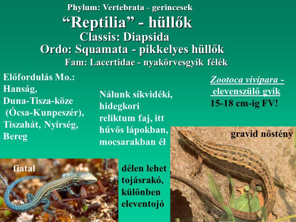 Reptilia - hüllők Phylum: Vertebrata - gerincesek Fam: Lacertidae - nyakörvesgyík félék Ordo: Squamata - pikkelyes hüllők Előfordulás Mo.: Hanság, Duna-Tisza-köze (Ócsa-Kunpeszér), Tiszahát, Nyírség, Bereg Classis: Diapsida Zootoca vivipara - elevenszülő gyík 15-18 cm-ig FV.