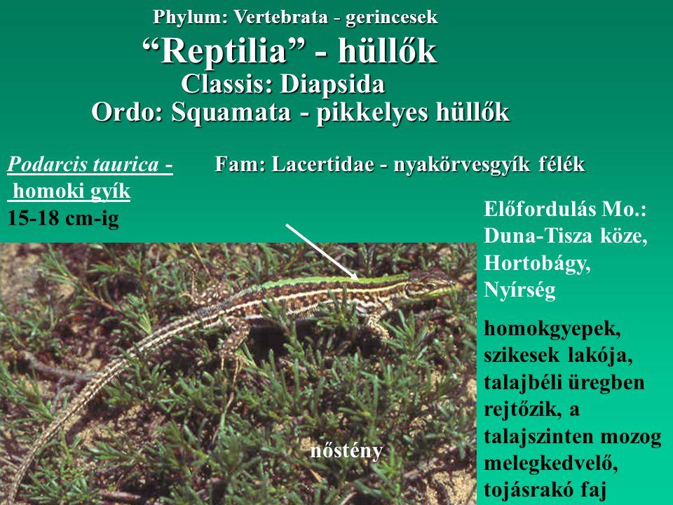 Reptilia - hüllők Phylum: Vertebrata - gerincesek Fam: Lacertidae - nyakörvesgyík félék Ordo: Squamata - pikkelyes hüllők Előfordulás Mo.: Duna-Tisza köze, Hortobágy, Nyírség Classis: Diapsida Podarcis taurica - homoki gyík 15-18 cm-ig homokgyepek, szikesek lakója, talajbéli üregben rejtőzik, a talajszinten mozog melegkedvelő, tojásrakó faj nőstény