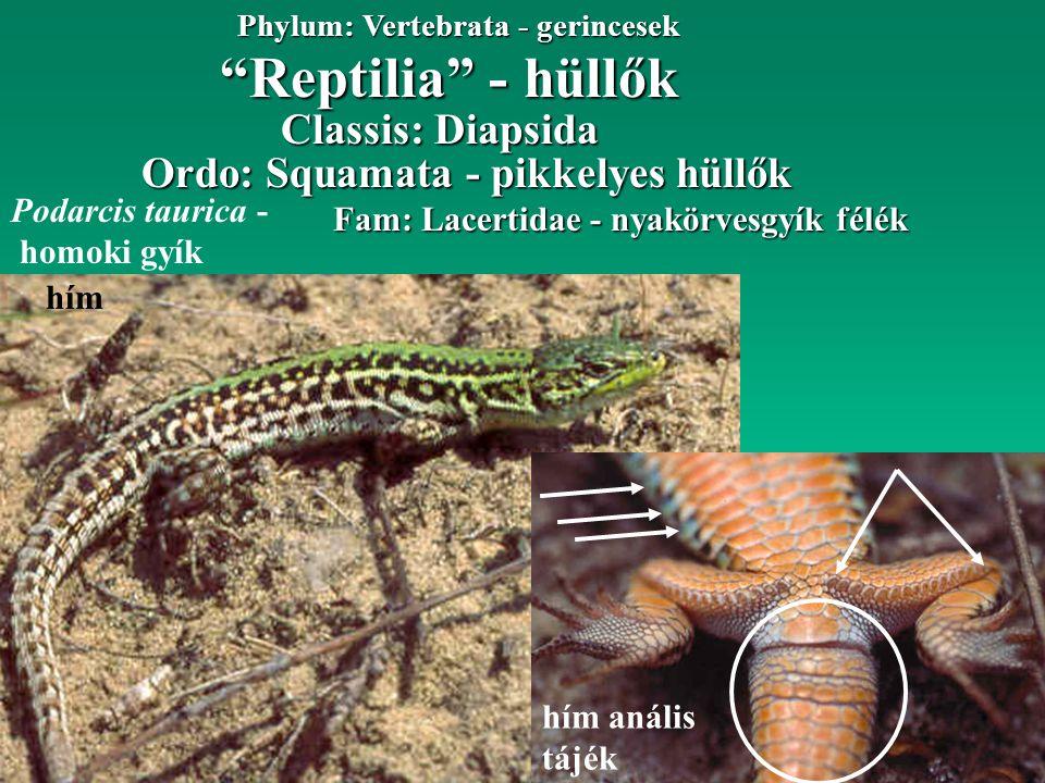 """""""Reptilia"""" - hüllők Phylum: Vertebrata - gerincesek Fam: Lacertidae - nyakörvesgyík félék Ordo: Squamata - pikkelyes hüllők Classis: Diapsida Podarcis"""