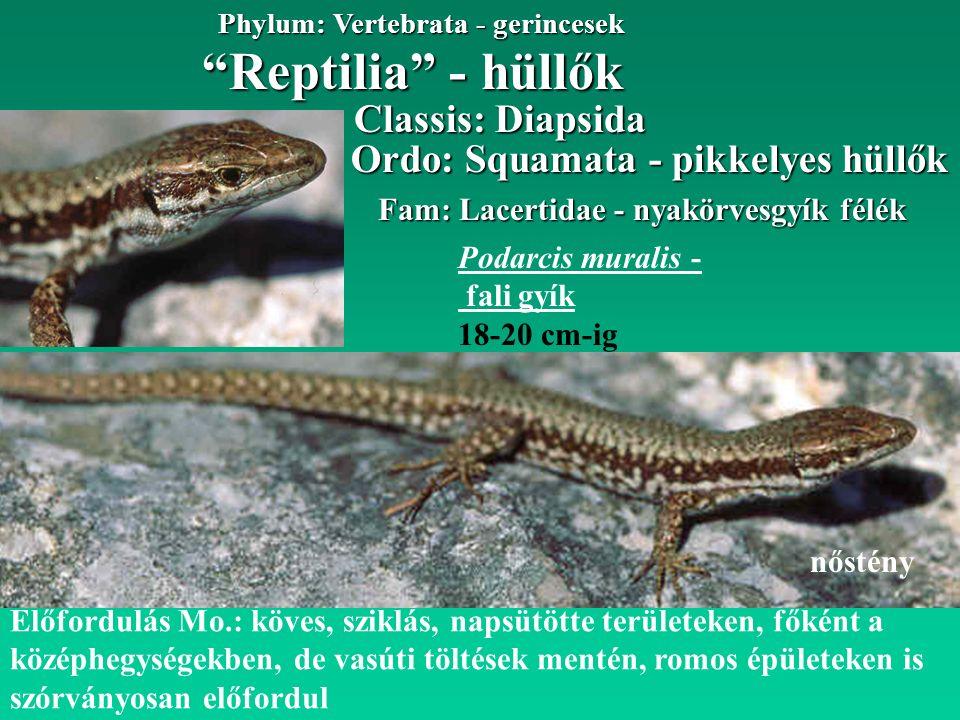 """""""Reptilia"""" - hüllők Phylum: Vertebrata - gerincesek Fam: Lacertidae - nyakörvesgyík félék Ordo: Squamata - pikkelyes hüllők Előfordulás Mo.: köves, sz"""