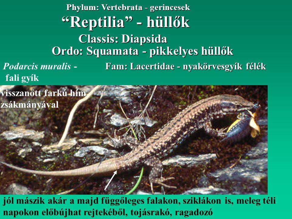 jól mászik akár a majd függőleges falakon, sziklákon is, meleg téli napokon előbújhat rejtekéből, tojásrakó, ragadozó Reptilia - hüllők Phylum: Vertebrata - gerincesek Fam: Lacertidae - nyakörvesgyík félék Ordo: Squamata - pikkelyes hüllők Classis: Diapsida Podarcis muralis - fali gyík visszanőtt farkú hím zsákmányával