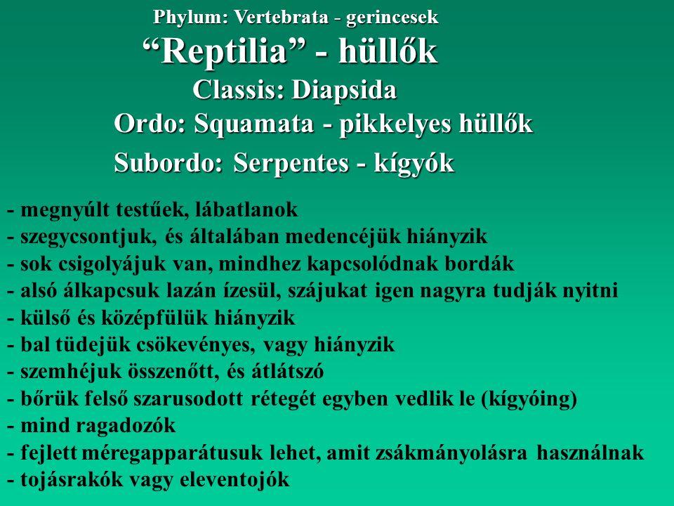 """""""Reptilia"""" - hüllők Phylum: Vertebrata - gerincesek Ordo: Squamata - pikkelyes hüllők Classis: Diapsida Subordo: Serpentes - kígyók - megnyúlt testűek"""