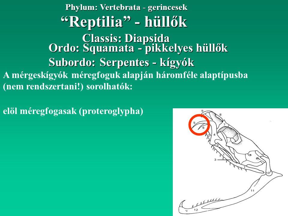 Reptilia - hüllők Phylum: Vertebrata - gerincesek Ordo: Squamata - pikkelyes hüllők Classis: Diapsida Subordo: Serpentes - kígyók A mérgeskígyók méregfoguk alapján háromféle alaptípusba (nem rendszertani!) sorolhatók: elöl méregfogasak (proteroglypha)