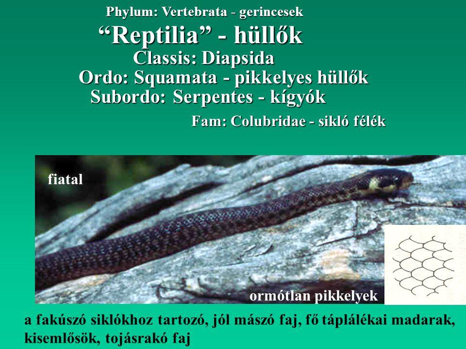 """a fakúszó siklókhoz tartozó, jól mászó faj, fő táplálékai madarak, kisemlősök, tojásrakó faj """"Reptilia"""" - hüllők Phylum: Vertebrata - gerincesek Ordo:"""