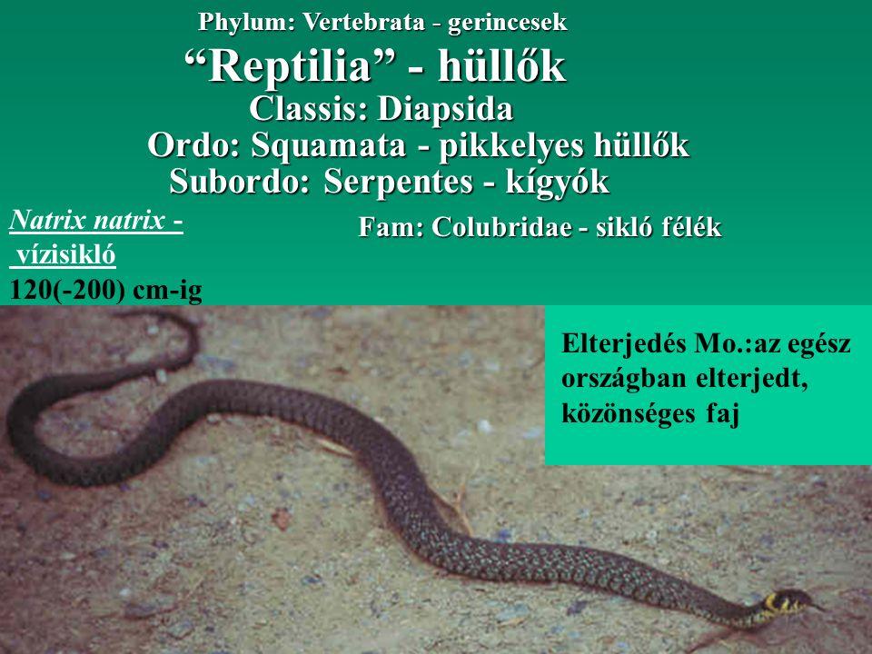 """""""Reptilia"""" - hüllők Phylum: Vertebrata - gerincesek Ordo: Squamata - pikkelyes hüllők Classis: Diapsida Subordo: Serpentes - kígyók Fam: Colubridae -"""