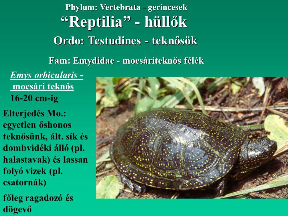 Reptilia - hüllők Phylum: Vertebrata - gerincesek Ordo: Testudines - teknősök Fam: Emydidae - mocsáriteknős félék Emys orbicularis - mocsári teknős 16-20 cm-ig Elterjedés Mo.: egyetlen őshonos teknősünk, ált.