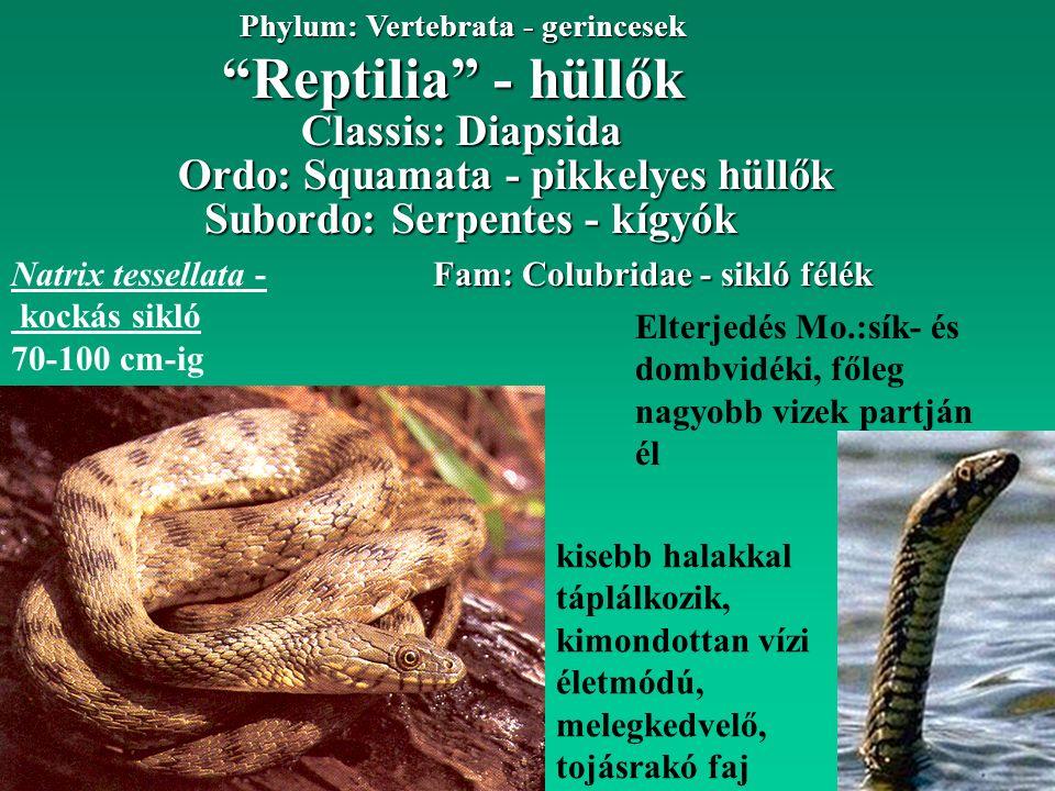 Reptilia - hüllők Phylum: Vertebrata - gerincesek Ordo: Squamata - pikkelyes hüllők Classis: Diapsida Subordo: Serpentes - kígyók Fam: Colubridae - sikló félék Natrix tessellata - kockás sikló 70-100 cm-ig kisebb halakkal táplálkozik, kimondottan vízi életmódú, melegkedvelő, tojásrakó faj Elterjedés Mo.:sík- és dombvidéki, főleg nagyobb vizek partján él