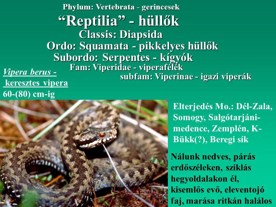 Reptilia - hüllők Phylum: Vertebrata - gerincesek Ordo: Squamata - pikkelyes hüllők Classis: Diapsida Subordo: Serpentes - kígyók Fam: Viperidae - viperafélék subfam: Viperinae - igazi viperák Vipera berus - keresztes vipera 60-(80) cm-ig Elterjedés Mo.: Dél-Zala, Somogy, Salgótarjáni- medence, Zemplén, K- Bükk( ), Beregi sík Nálunk nedves, párás erdőszéleken, sziklás hegyoldalakon él, kisemlős evő, eleventojó faj, marása ritkán halálos